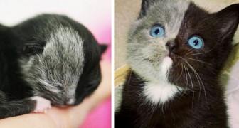 Ce chaton est né avec un museau coloré à moitié... et en grandissant, il est devenu une merveille de la nature