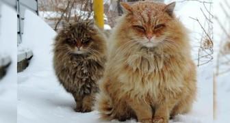 Una colonia di gatti siberiani a guardia della fattoria: questi micioni conquisteranno anche voi
