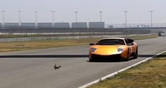 Uno scoiattolo attraversa un circuito da corsa... l'incontro con la Lamborghini è da brivido