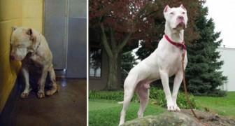Estas magníficas imagens de cães antes e depois da adoção vão deixar você em paz com o mundo!