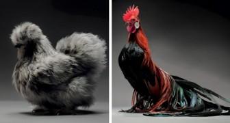 Twee fotografen maken honderden foto's van kippen, ze zijn zo mooi dat je er gewoon geen woorden voor hebt