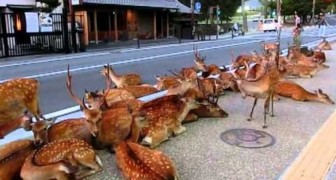 A herd of deer occupying the road in Japan