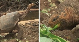 Questa super-testuggine è riuscita a salvare dall'estinzione la sua intera specie