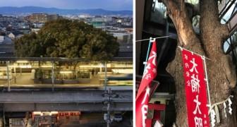 Dit treinstation in Japan is om een kamferboom heen gebouwd van 700 jaar oud