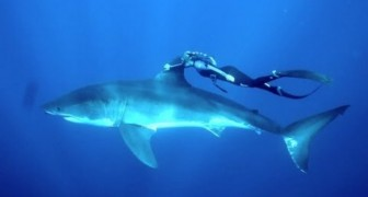 The great white shark and a brave swimmer