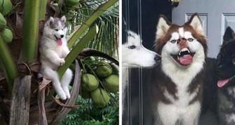 Queste 22 foto dimostrano che gli husky non sono solo affascinanti, ma anche molto espressivi