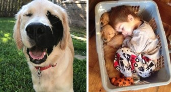 26 volte in cui i Golden Retriever hanno dimostrato di essere i migliori cani in assoluto