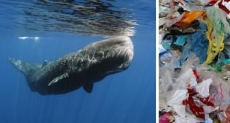 Een potvis spoelt aan op Spaans strand. In zijn maag: 30 kilo plastic afval