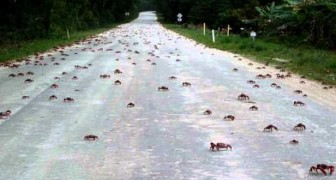 Thousands of red crabs crossing the road on Christmas island !