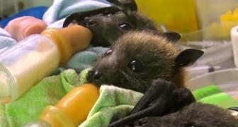 Accudire i piccoli pipistrelli orfani