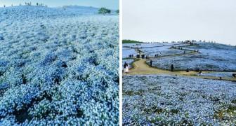 Tout le monde connaît la floraison des cerisiers au Japon, mais celle du némophile bleu est tout aussi éblouissante