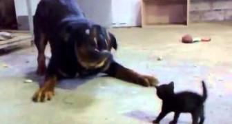 Sin dudas es el gato con mas coraje!