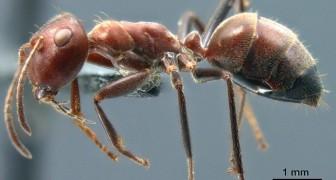 Dei ricercatori scoprono una nuova specie di formica che si fa esplodere per salvare la colonia da un pericolo