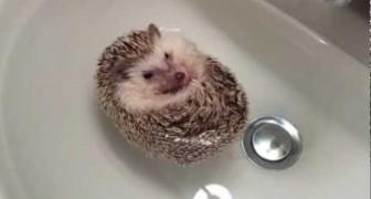 Un petit bain pour l'hérisson