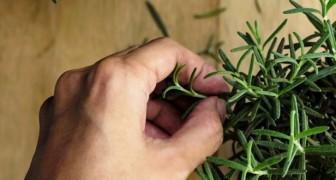 Los mosquitos son una pesadilla? Aqui 8 plantas comunes que te ayudaran a tenerlos lejos