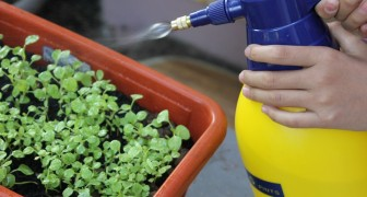 Det ekologiska insektsmedlet baserat på vitlök som skyddar växter från bladlöss: här är hur man förbereder det