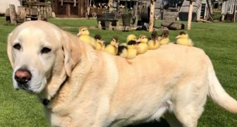 A Labrador adopts 9 abandoned ducklings and their photos together are marvelous!