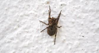 Une araignée à l'intérieur de la maison ? Voilà pourquoi vous ne devriez JAMAIS la tuer, même si vous en avez peur