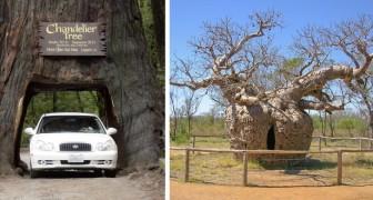 Le plus vieux, le plus large ou le plus solitaire : 12 magnifiques arbres qui détiennent un record du monde