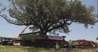 Moving a 150 years old tree 360.000kg heavy
