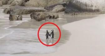 Il video di questi 2 pinguini che fanno una passeggiata romantica è la cosa più dolce che vedrete oggi
