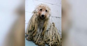 Un cane viene portato al rifugio ricoperto di pesanti rasta: dopo la tosatura non sembra nemmeno lui!