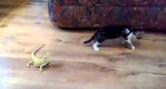 Coraggioso gatto affronta due lucertole