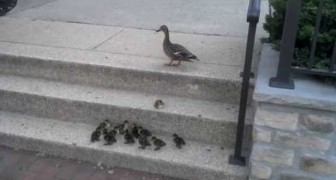 Ducklings and the challenging stairs !