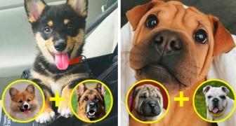 14 Hunde, die aus der Kreuzung von 2 Rassen geboren wurden. Das sind die süßesten Dinge, die Sie heute sehen werden
