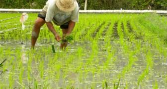 Les scientifiques estiment avoir trouvé un riz mutant qui neutralise le virus du VIH