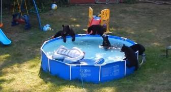 Moederbeer neemt haar kleintjes mee voor een duik in het zwembad: de video die verborgen gefilmd is, is hilarisch