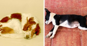 The position in which your dog sleeps reveals a lot about its state of mind! Discover what it is feeling!