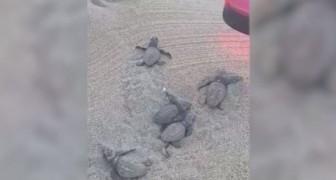 Taranto, i volontari guidano le tartarughine verso il mare con una luce: Il video è emozione pura