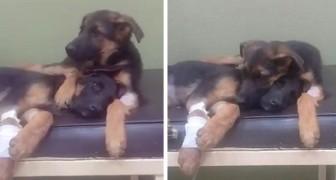 Un cucciolo si rifiuta di abbandonare la sorellina malata dal veterinario