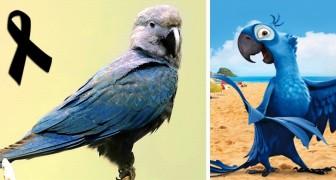 De Spix' ara, de vogel die beroemd werd door de Disneyfilm Rio is niet meer