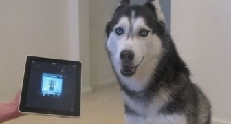 Husky sings better than Bieber !