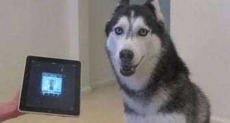 Le husky qui chante mieux que Justin Bieber