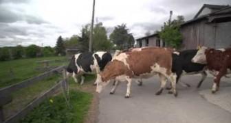 Kühe zum ersten Mal auf der Weide