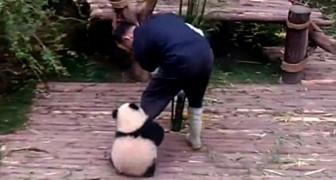 Daarom is bewaker zijn van pandabeertjes het leukste werk dat er is
