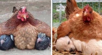 The maternal instinct is stronger than anything else! Here are 15 of the most determined mothers that exist!