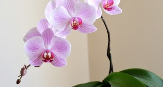 Orchid plants purify the air and promote equilibrium in the home environment. Here are all the wonderful secrets regarding orchid plants.