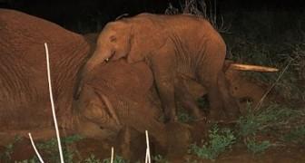 Elefantino orfano si rifiuta di abbandonare la madre