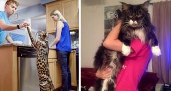 Die 6 größten Katzenrassen der Welt, in die du dich verlieben wirst.