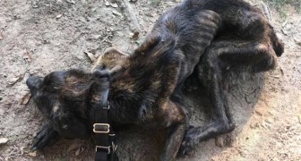 Een vrouw geeft als wraak de hond van haar ex geen eten: wanneer hulp arriveert, zijn ze verbluft