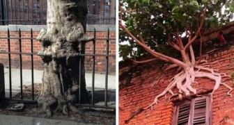 22 widerstandsfähige Bäume, die der Beton der Stadt nicht gestoppt hat.