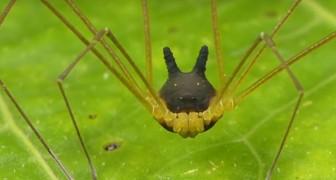 Questo ragno con la testa a forma di coniglio è totalmente reale, anche se non lo diresti mai