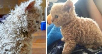 Katten met krullen zijn anders dan die je tot nu toe gezien hebt: kijk maar naar de vacht om te begrijpen waarom!