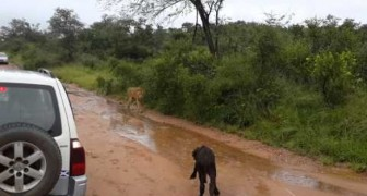 Mom saves the little buffalo from the attack of a lion