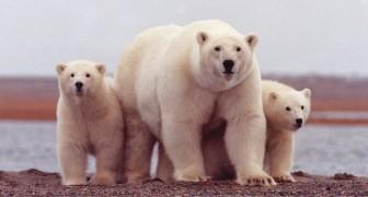 Amerikanische Zoologen haben eine neue Population von 3.000 Eisbären bei ausgezeichneter Gesundheit entdeckt.