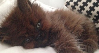 A woman adopts a tiny sick kitten and after a year it has become a beautiful lovable fluffy ball of fur